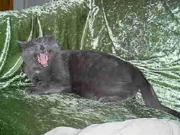 katt som gäspar